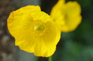 welsh-poppy