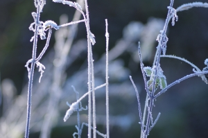 frosted stems