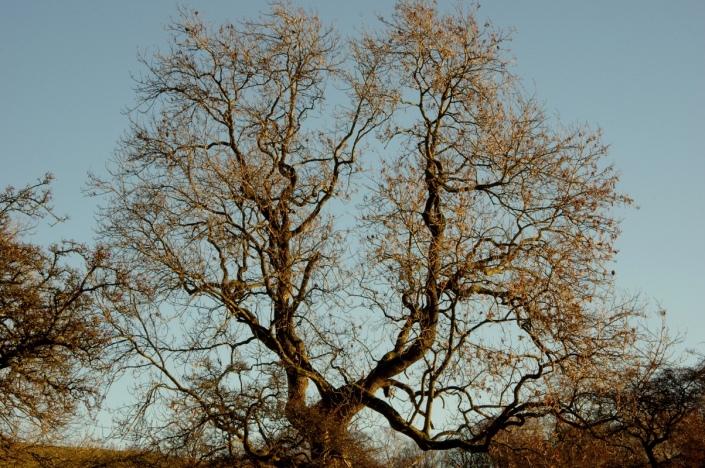 tree of Fieldfares